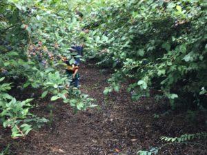 櫻井梨園のブルーベリ狩り